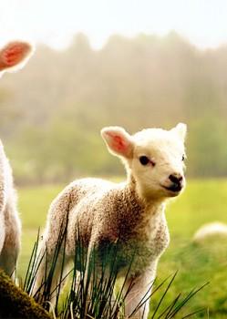 400 Ewes